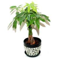 Rostlina eukalyptus